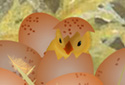 Ballet of the Chicks animated Flash ecard
