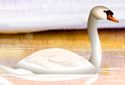 The Swan animated Flash ecard